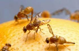mosca_fruta