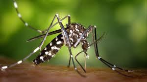 El Ayuntamiento de Almoradí inicia la campaña de prevención del mosquito tigre de cara al verano